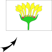 Capitule with ligulate flowers