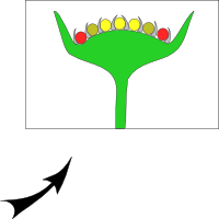 Capitule with tubular flowers
