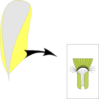 Ligule corneous and long ciliate with hairs around the ligule