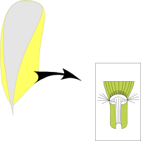 Ligule membranous and long ciliate with hairs around the ligule