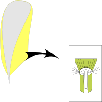 Ligule membranous and short ciliate with hairs around the ligule