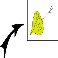 Achene trigonous 2