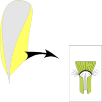 Ligule corneous and short ciliate with hair around the ligule