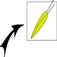 Achene with bristles pappus