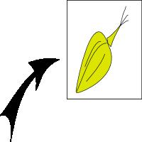 Achene trigonous 1
