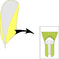 Ligule membranous and short ciliate