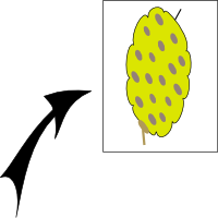 Achene spherical