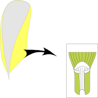 Ligule membranous