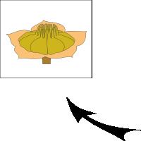 Capsule mericarp